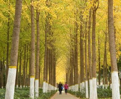 满眼金黄!郑州最美的银杏林 你见过吗