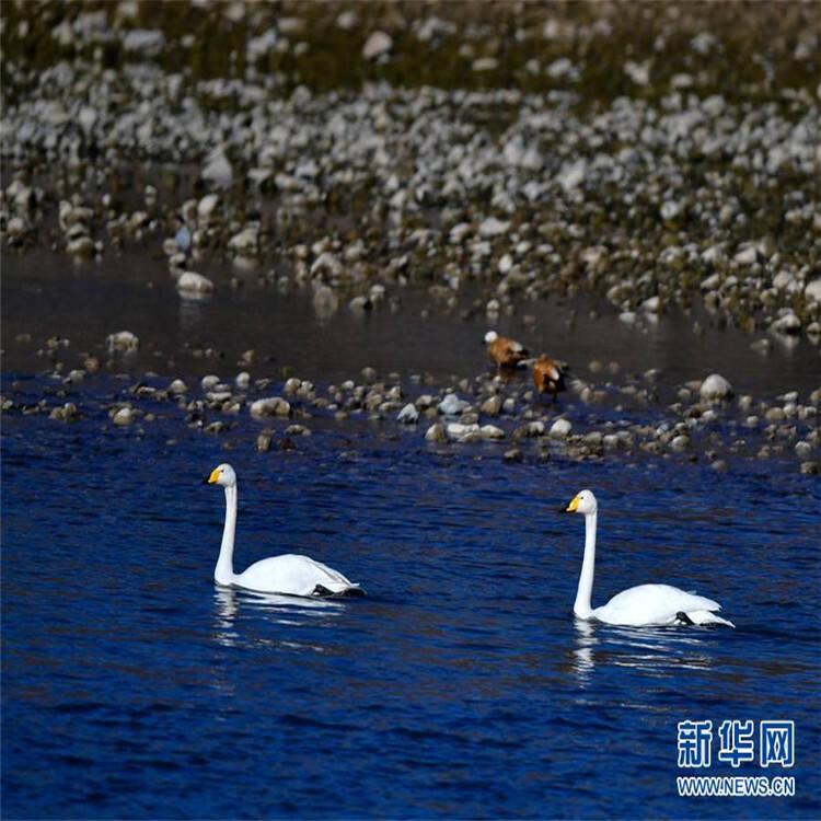 """黄河湿地""""天鹅湖"""""""